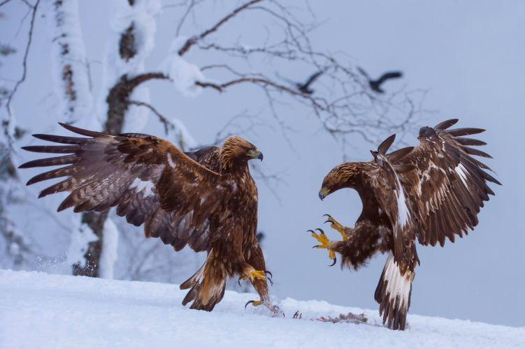 birds snow eagle winter wallpaper