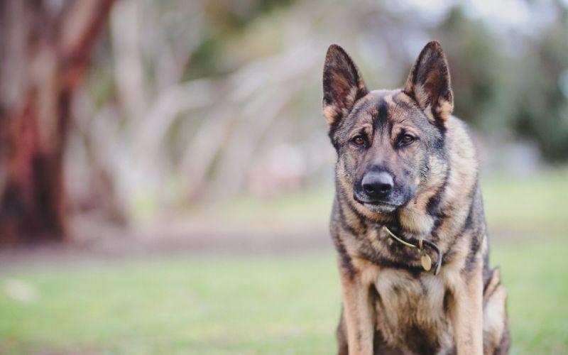 dog friend look german sheppard wallpaper