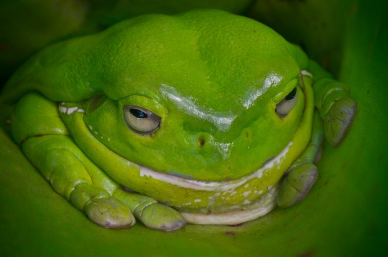 frog green australia wallpaper