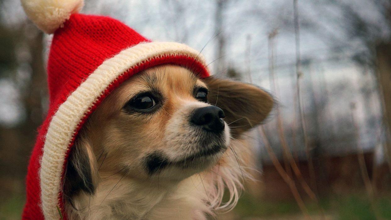 hat dog funny humor wallpaper