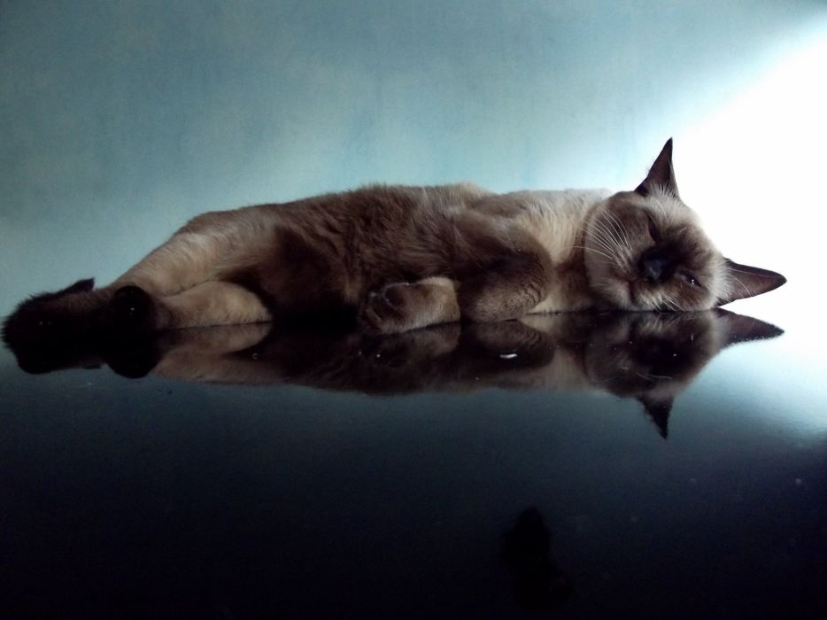 holiday cat reflection wallpaper