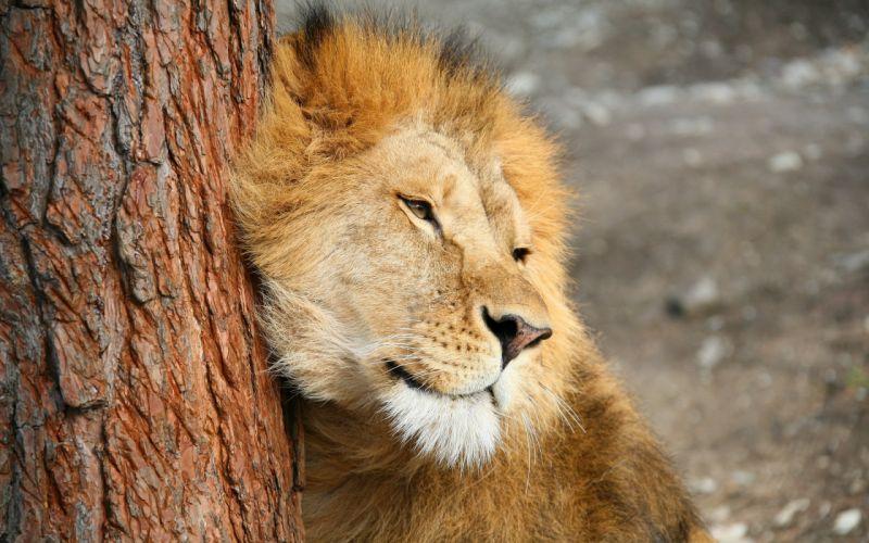 muzzle predator the lion wallpaper