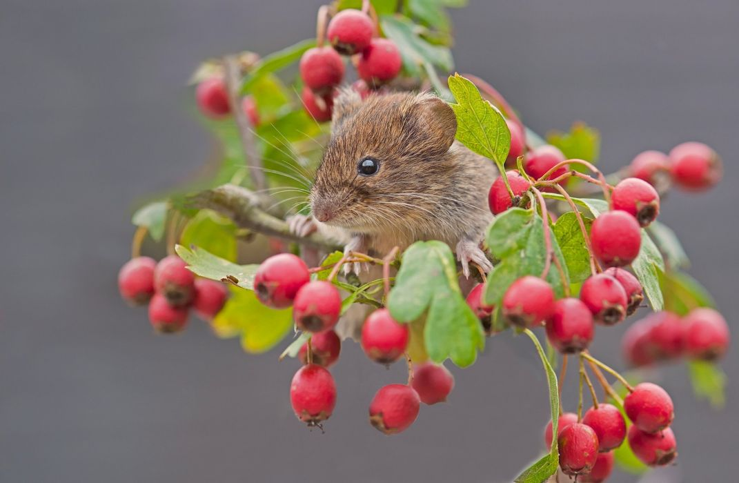 red vole mouse rodent berries hawthorn branch close-up wallpaper