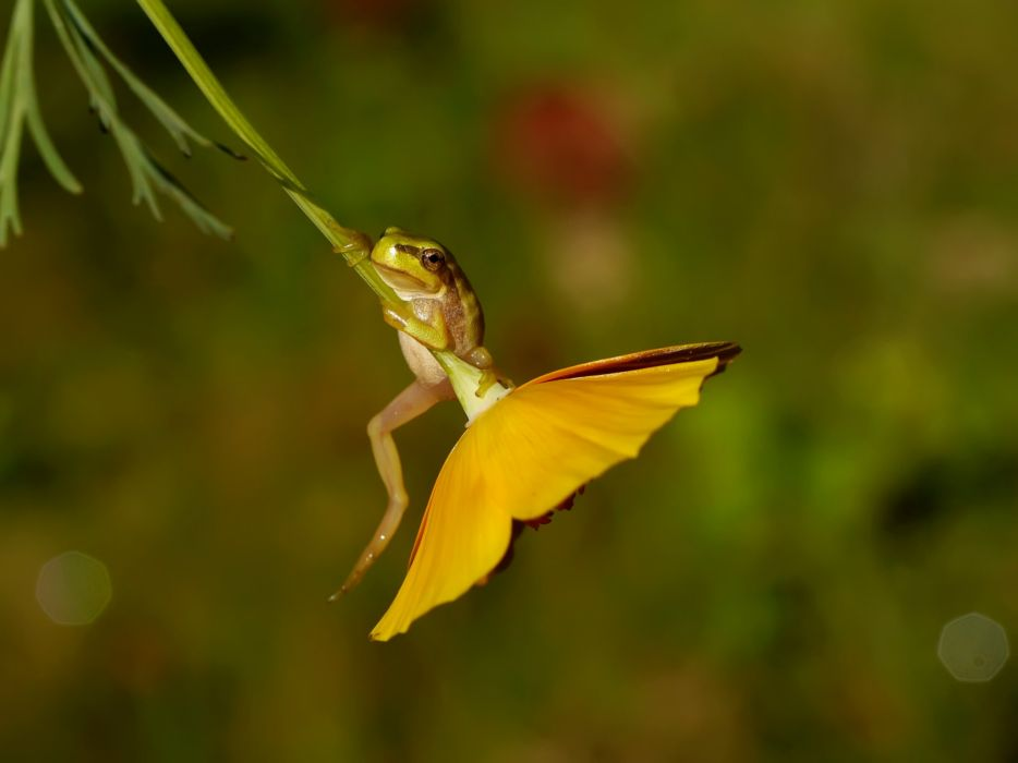 Redwood tree frog drevesnitsa frog flower macro wallpaper