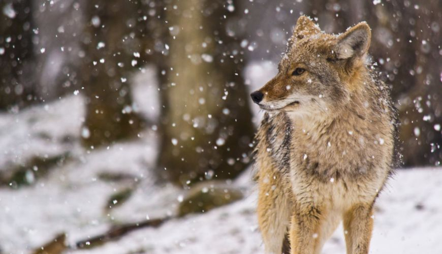 snow coyote winter flakes wallpaper