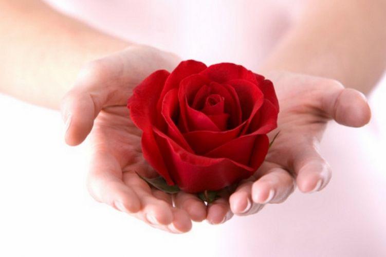 red rose surprise photography hands flower rose present gift wallpaper