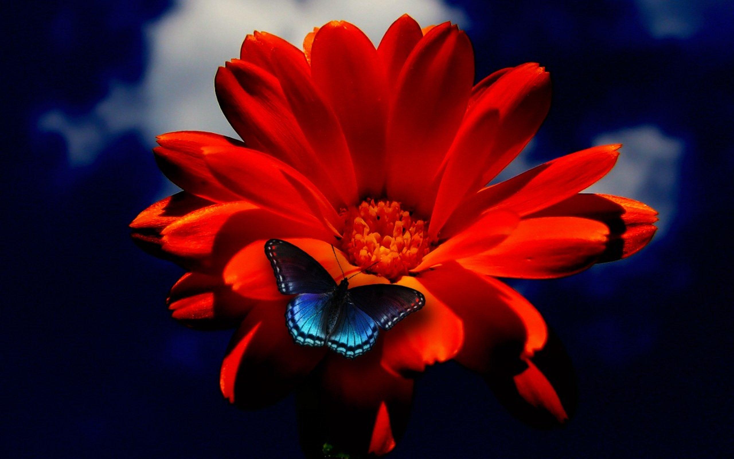 21740a387e11 Red orange flower blue butterfly wallpaper | 2560x1600 | 467639 |  WallpaperUP