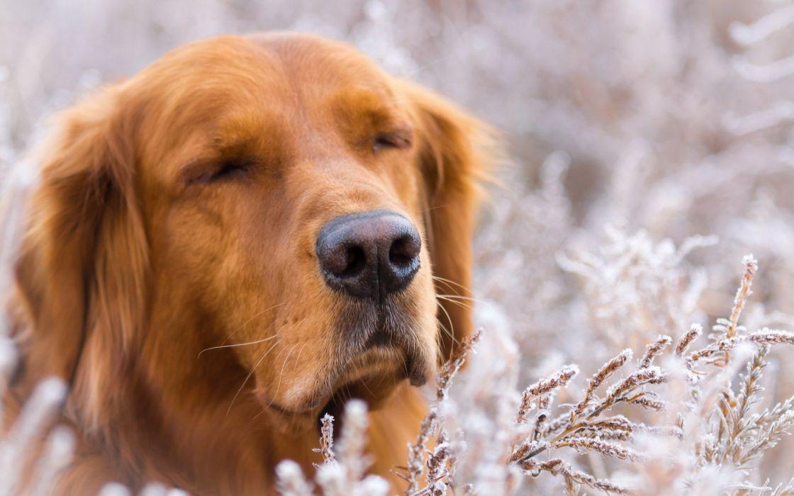 Dogs Golden Retriever Retriever Snout Animals wallpaper