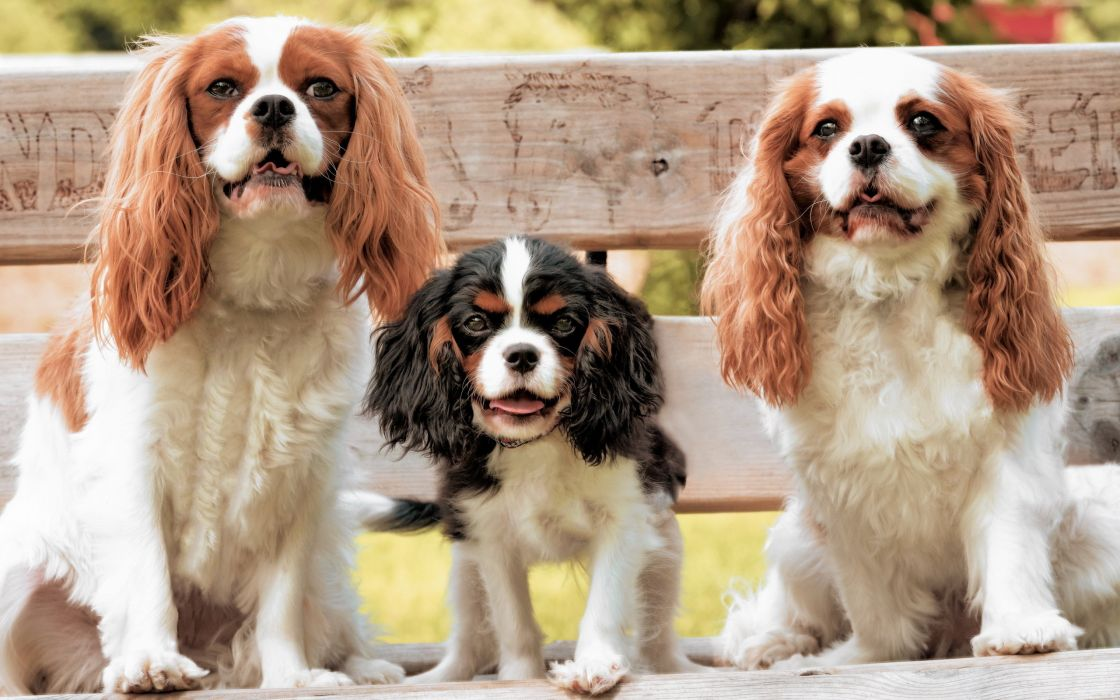 Dogs Cavalier king Charles Spaniel puppy wallpaper