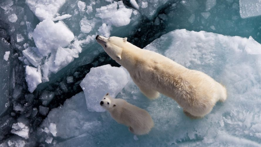 Bears Two Ice Animals polar bear wallpaper