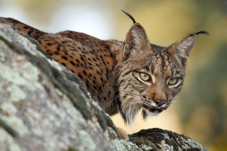Big cats Lynx wallpaper