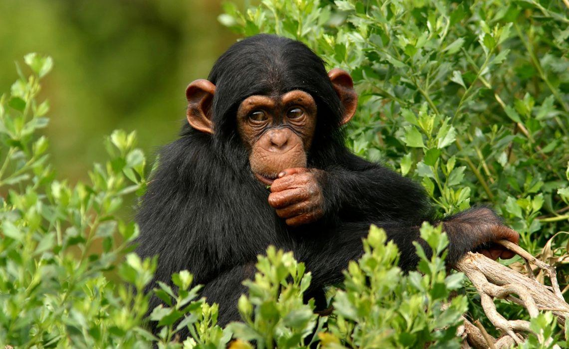 Monkeys Animals monkey wallpaper