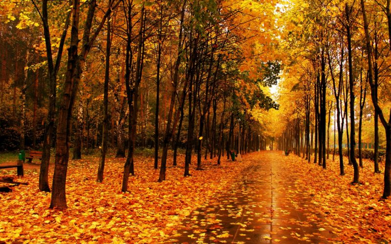 autumn forest road trees nature wallpaper