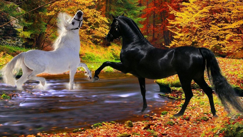 horses black playfulness couple river white two autumn stallion wallpaper