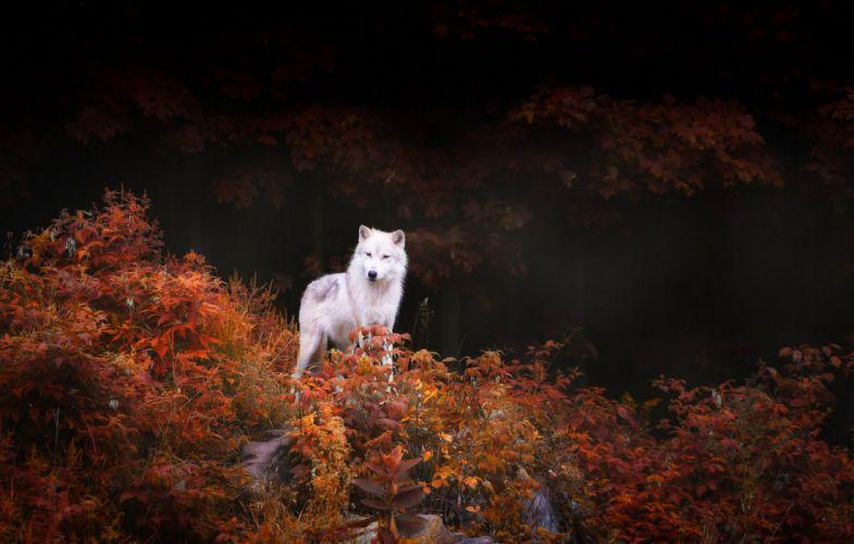 Wolf trees shrubs foliage autumn forest nature wallpaper