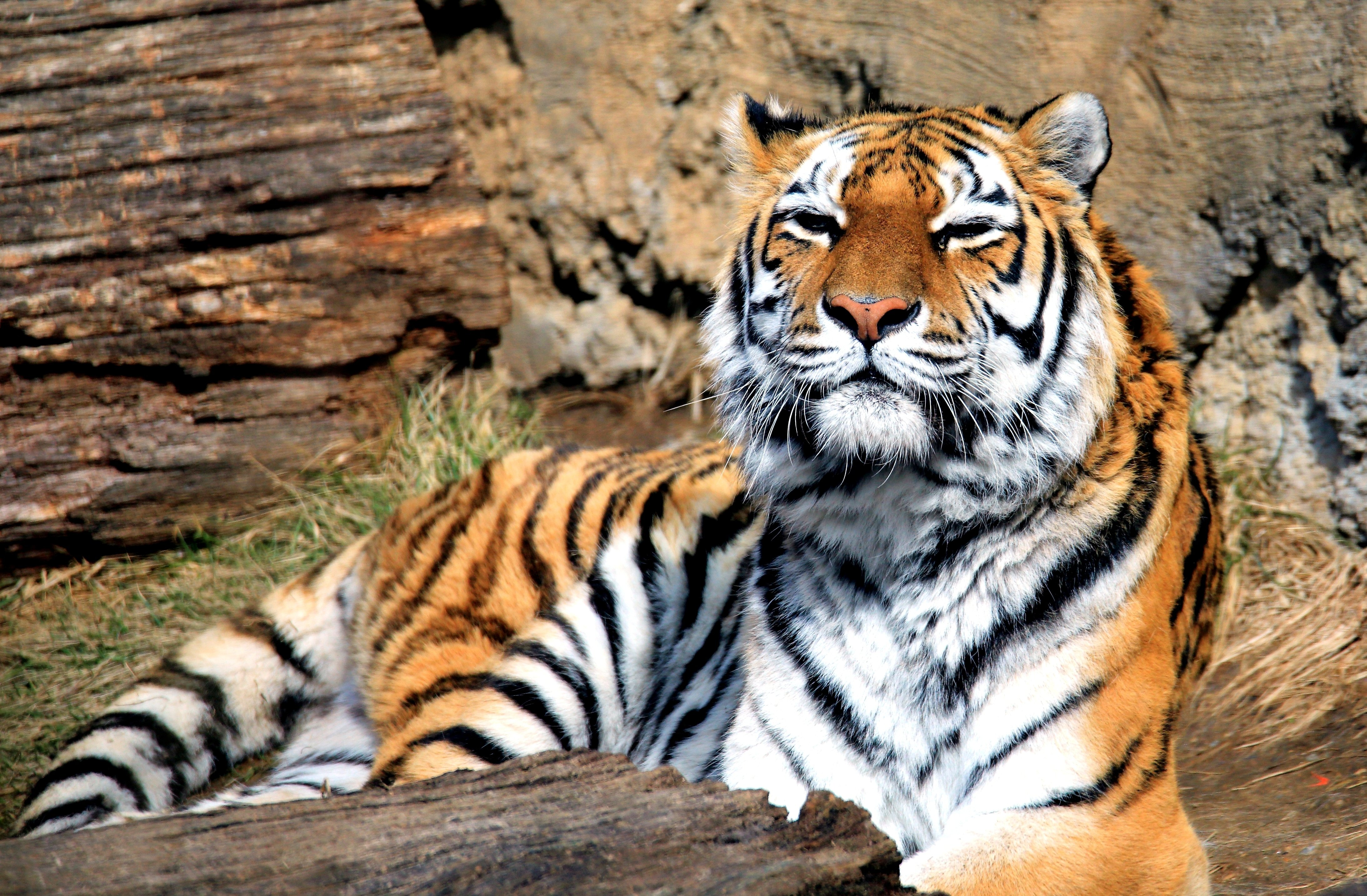 animal tiger panthera tigris predator mammal big cat wallpaper