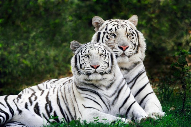 tigers two couple wallpaper