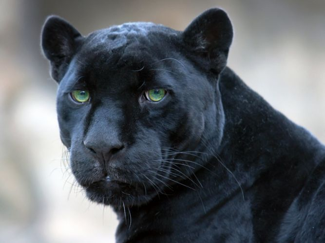 jaguar black panther wallpaper
