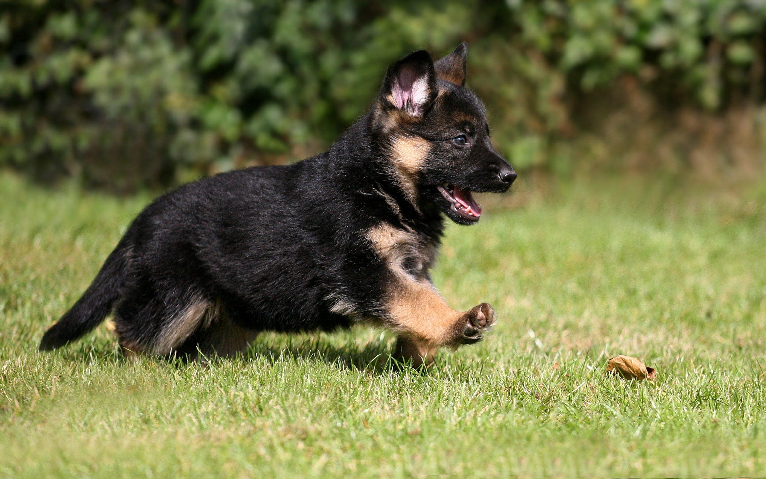 German Shepherd Puppy Dog Pet Wallpaper 2560x1600 476084