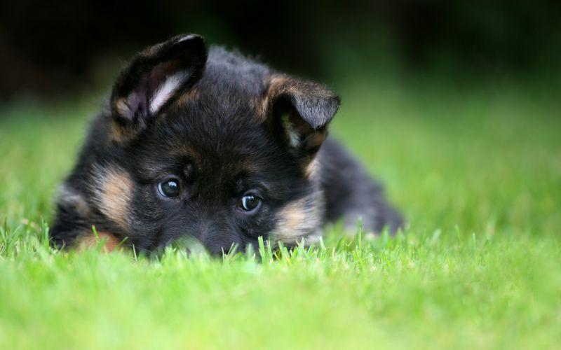German Shepherd puppy pet wallpaper