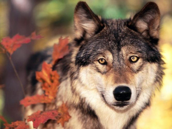 Wolf autumn leaves wallpaper