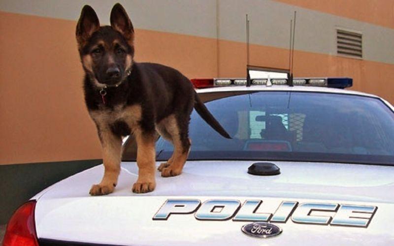 shepherd sweet police puppy car wallpaper