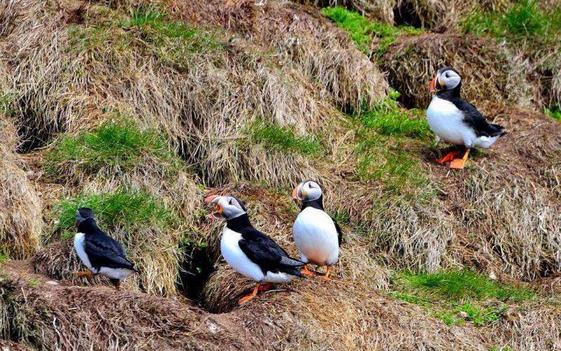 Puffins newfoundland birds canada wallpaper