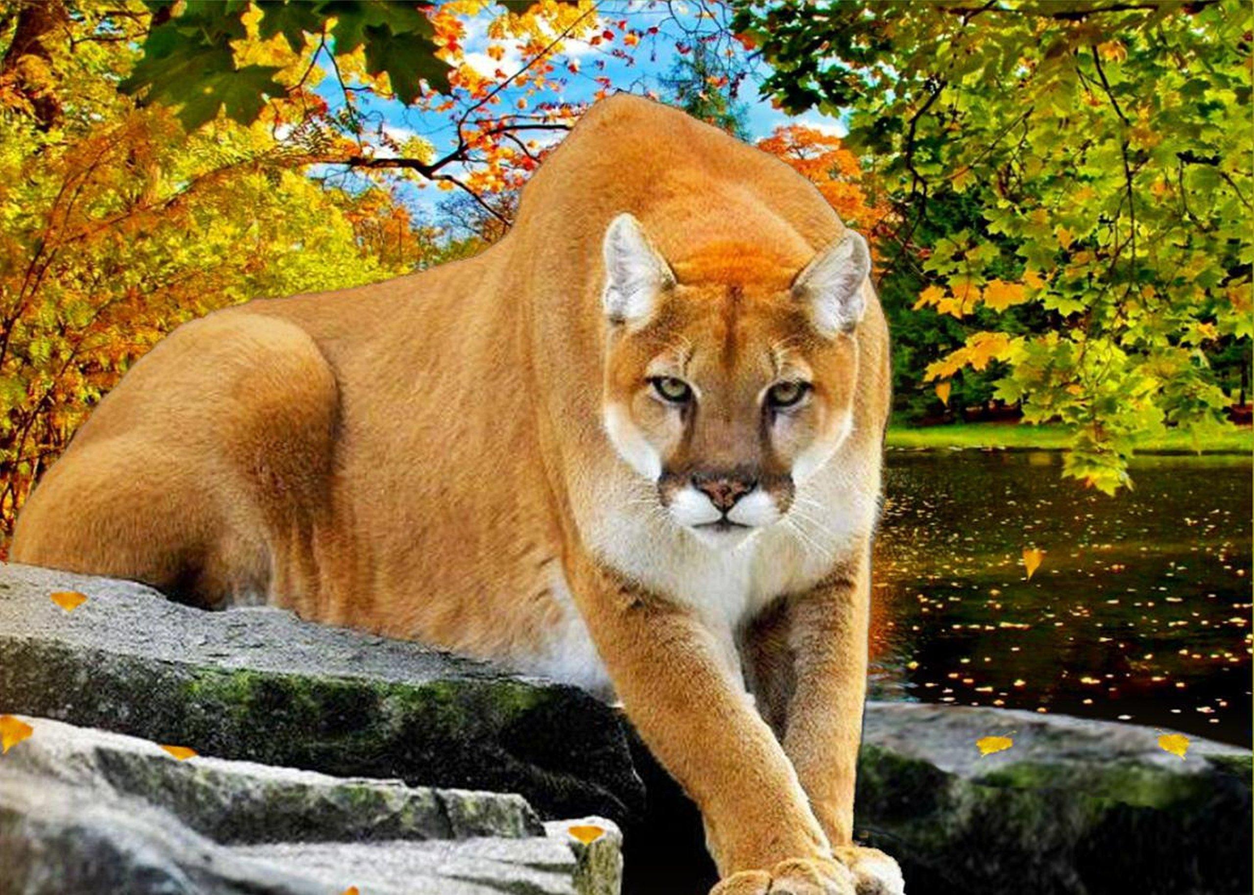 Puma cat animal autumn river wallpaper   2560x1828 ...