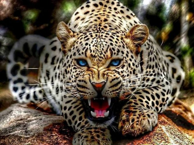 leopard wild cat hunter wallpaper