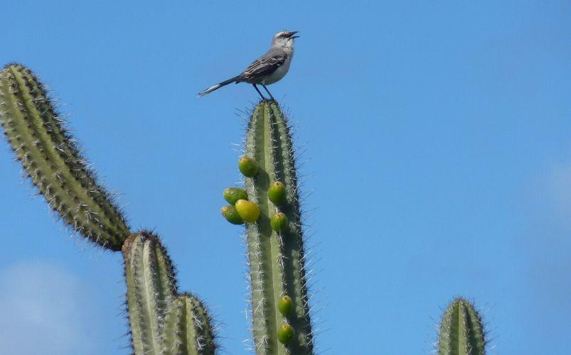 Curacao cactus bird wallpaper