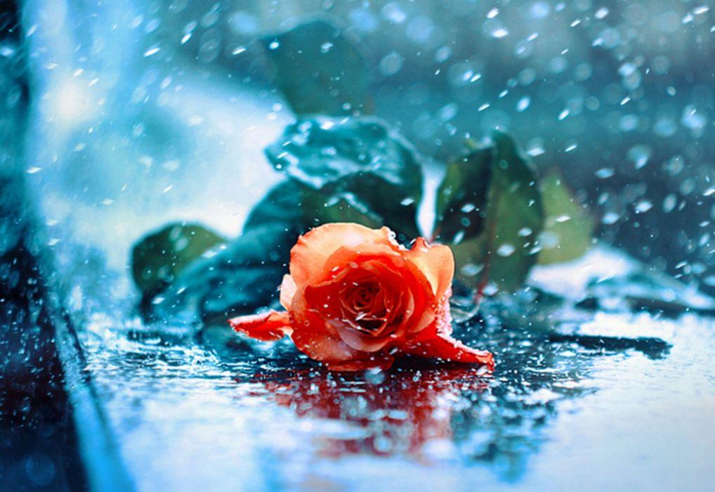 water drops red red rose wet rose rose beauty beautiful rose wallpaper
