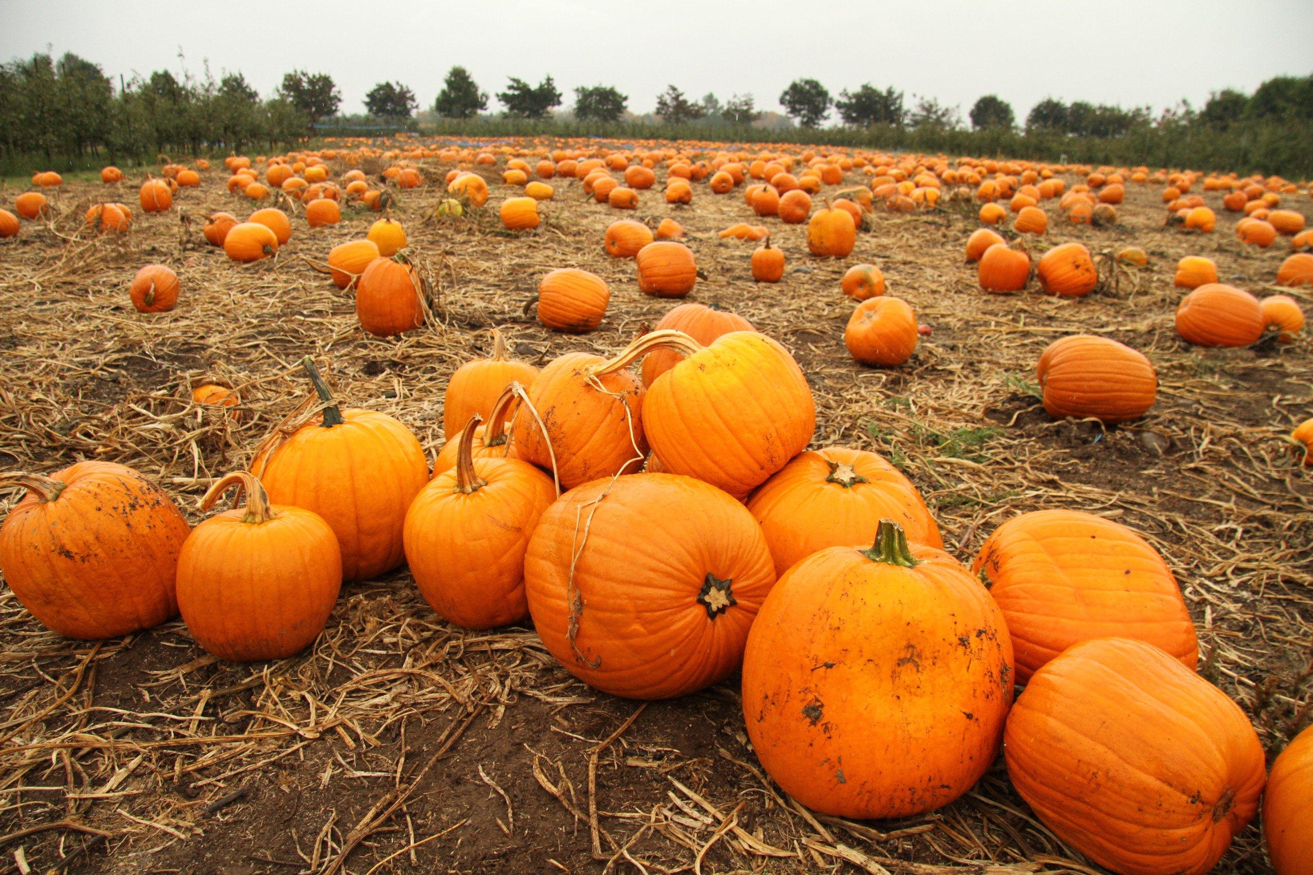 Pumpkin patch halloween autumn wallpaper 2592x1728 - Pumpkin wallpaper fall ...