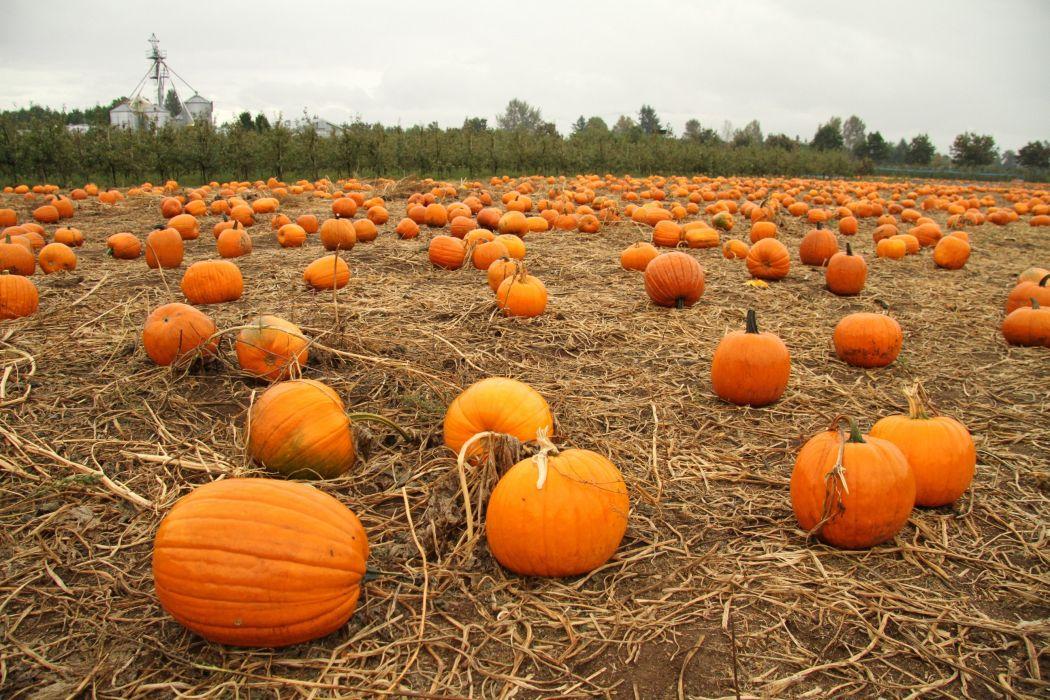pumpkin patch halloween autumn wallpaper