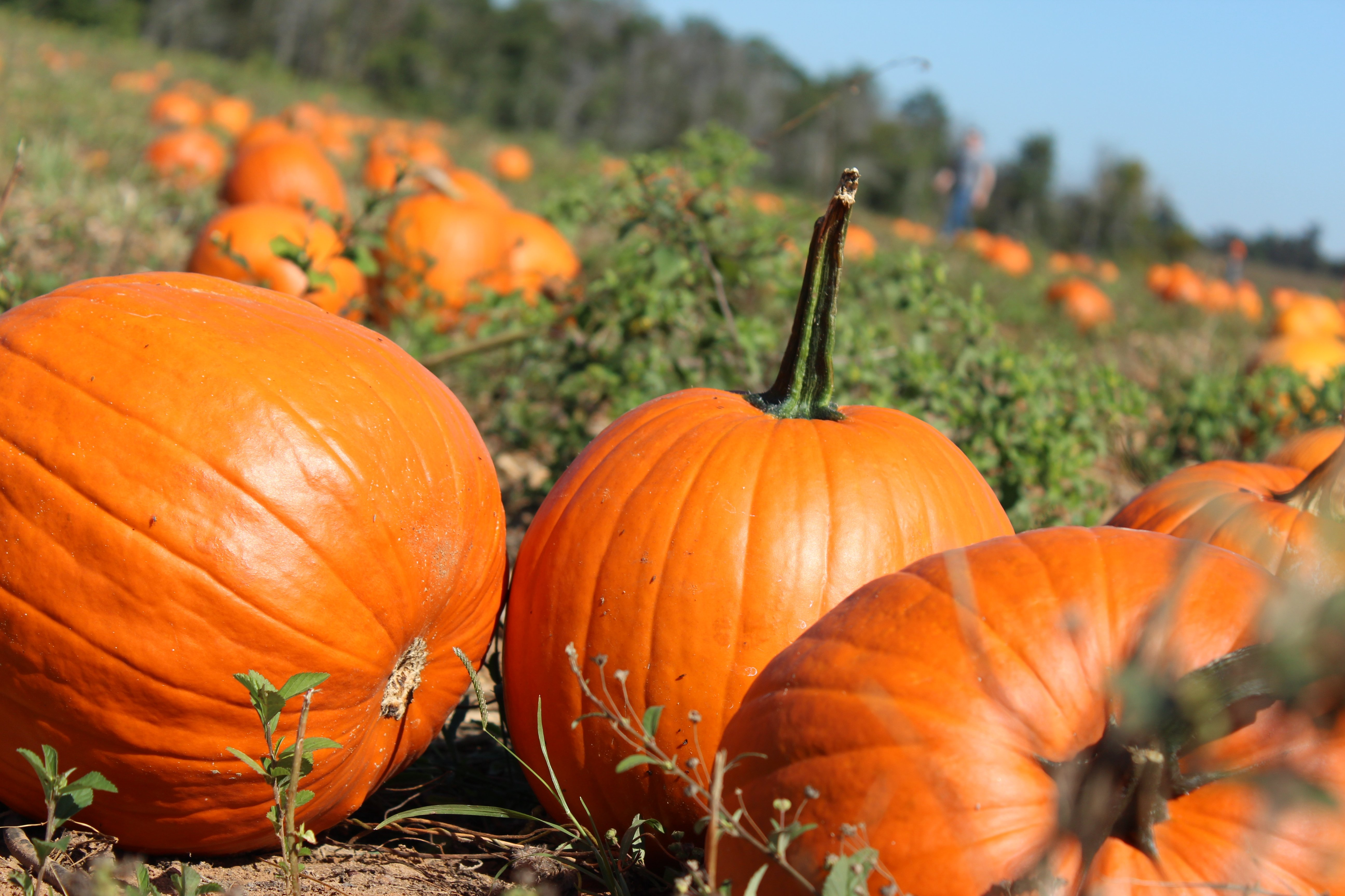 pumpkin patch halloween autumn wallpaper 5184x3456