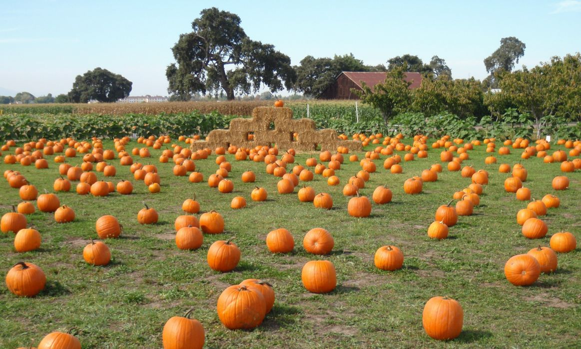 pumpkin patch halloween autumn wallpaper