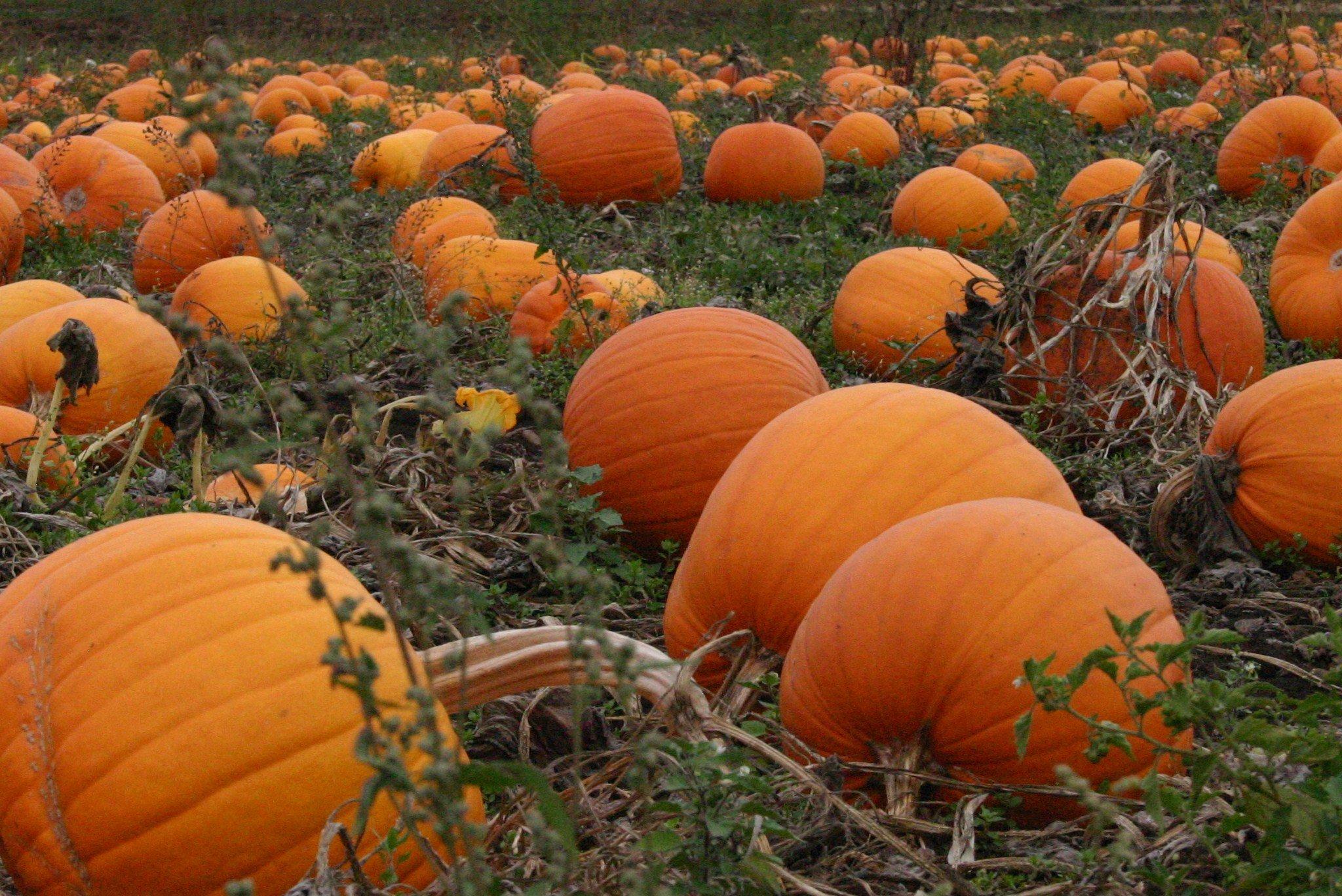Pumpkin patch halloween autumn wallpaper 2048x1368 480189 wallpaperup - Fall wallpaper pumpkins ...