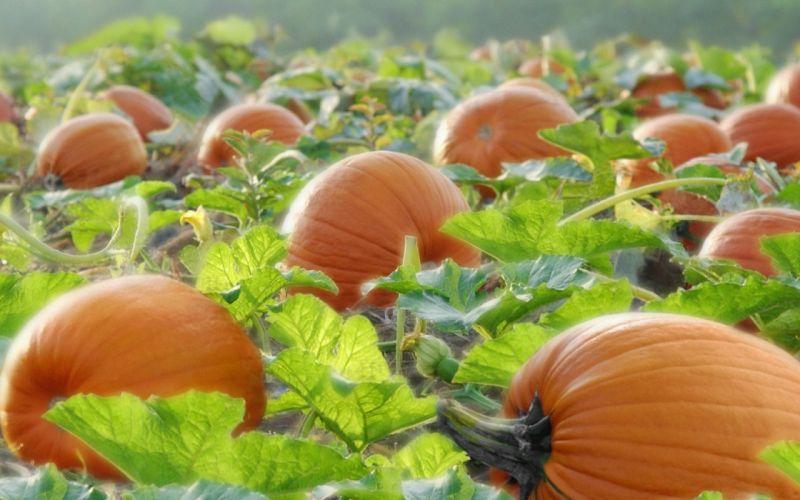pumpkin food delicious wallpaper