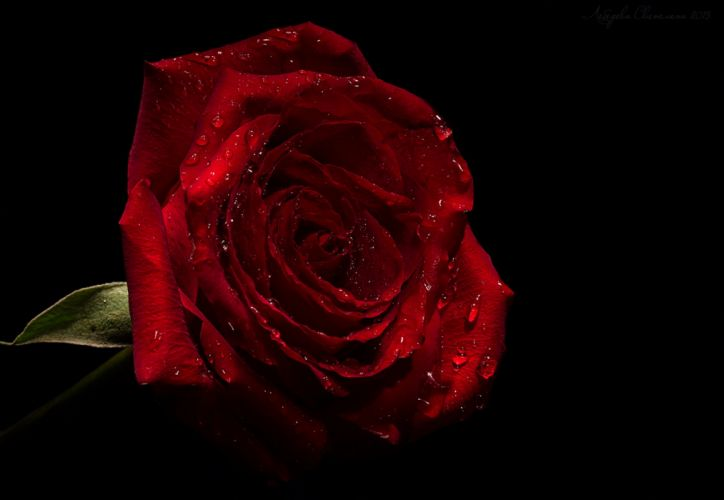 for you roses love nature drops rose petals flowers with love wallpaper