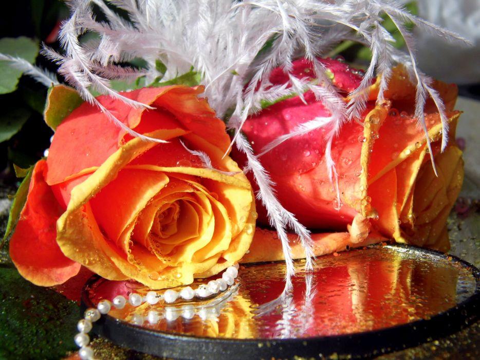 soft pearl orange roses flowers wallpaper