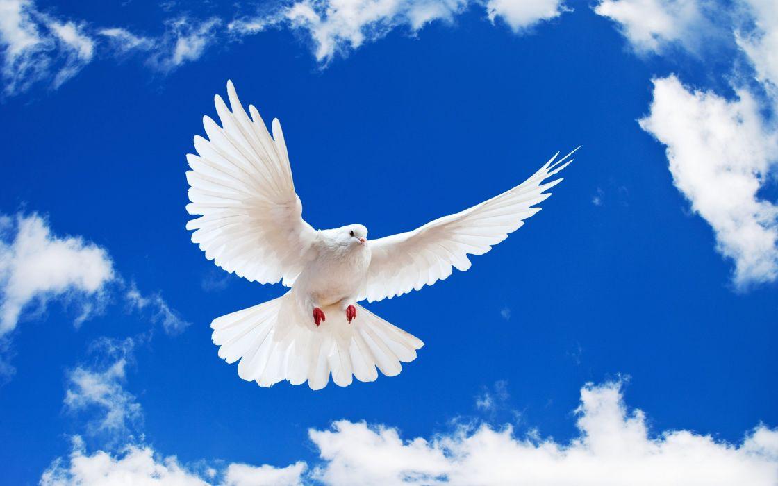 white dove-wide love bird sky sexy wallpaper