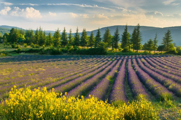 field lavender flowers purple wallpaper