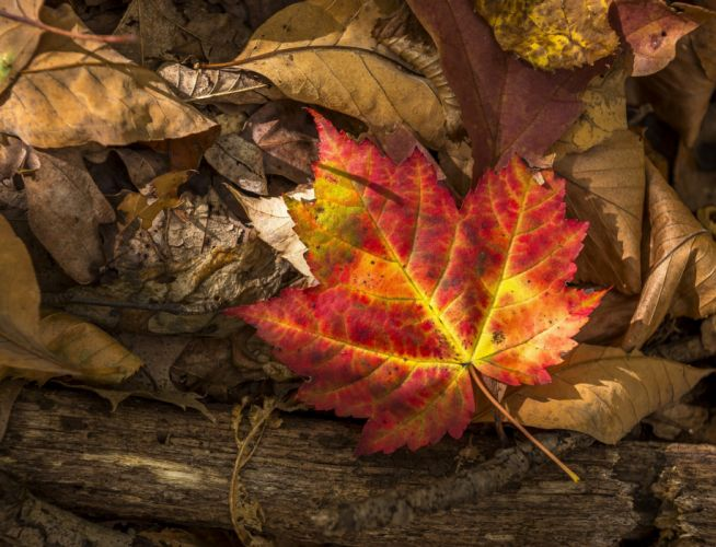 leaf autumn leaves wallpaper