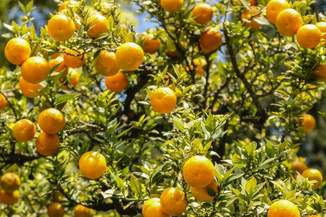 oranges leaves sun light fruit orange bokeh wallpaper