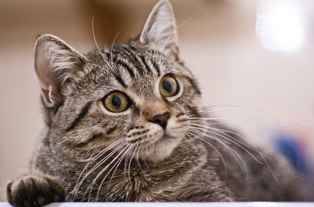 cat portrait focus look wallpaper