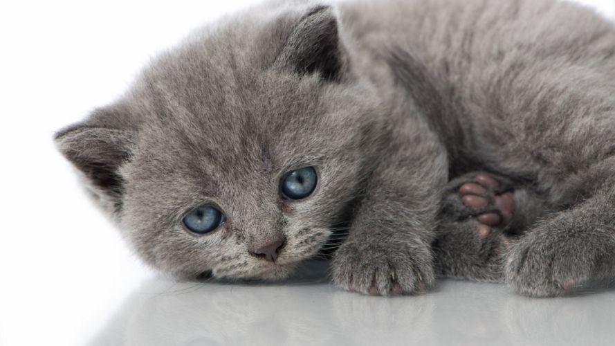cat kitten gray blue eyes wallpaper
