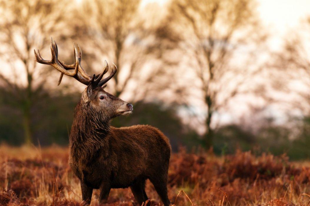 deer antlers profile autumn wallpaper