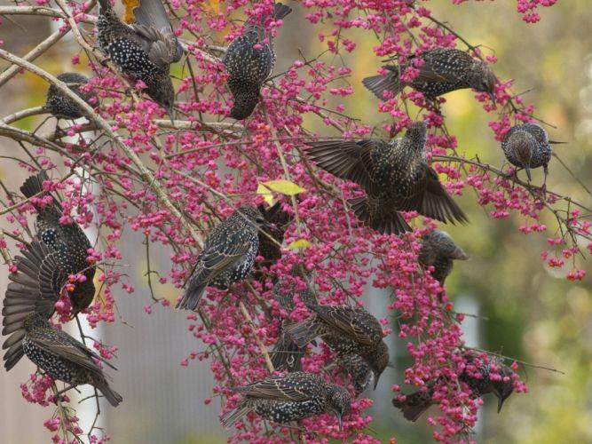 starlings birds tree branches berries wallpaper