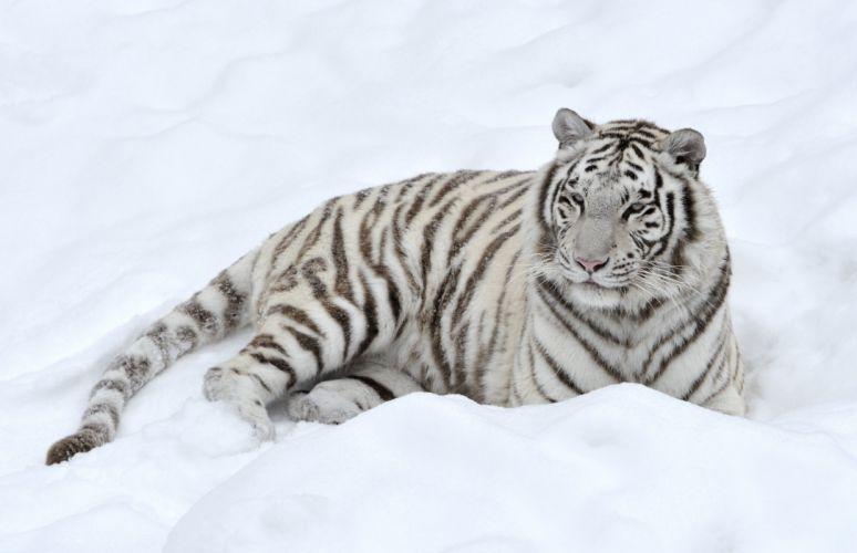 tiger snow predator white wallpaper