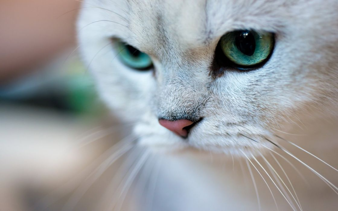 cat green eyes face portrait wallpaper