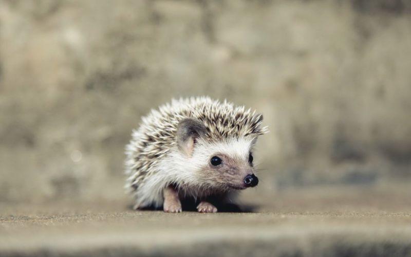 hedgehog baby animal wallpaper